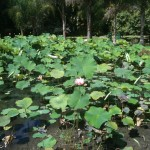 The Lotus Garden at Pamplemousse