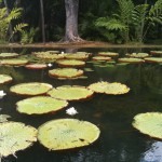 Giant Waterlillies